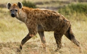 Hyenas_2332980b