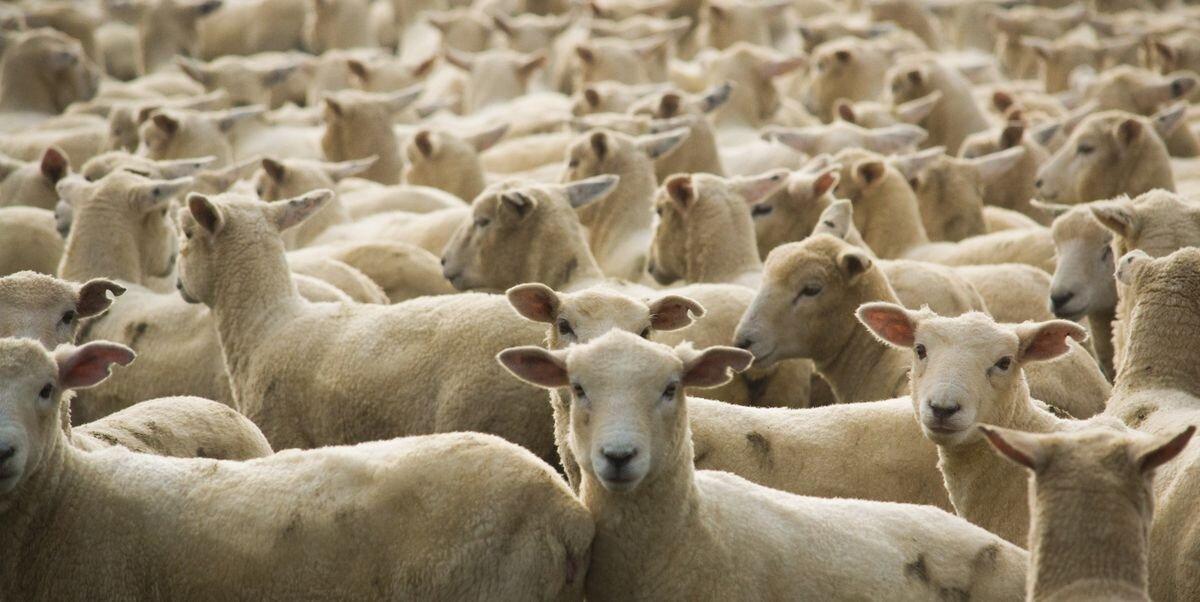 flock-of-sheep-royalty-free-image-1588670278.jpg